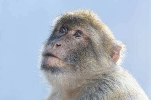 Macaque Monkey Primate Free Photo