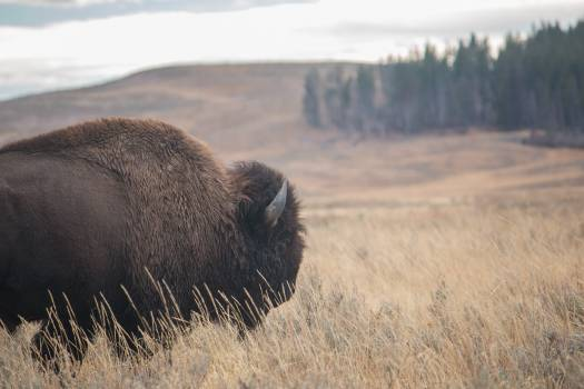 Bison Nature Wildlife Free Photo #424975