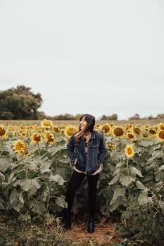 Sunflower Field Meadow Free Photo