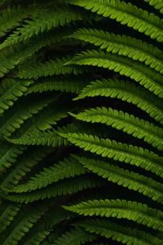 Sumac Shrub Woody plant Free Photo
