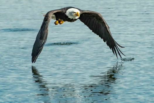 Bald eagle Eagle Bird Free Photo