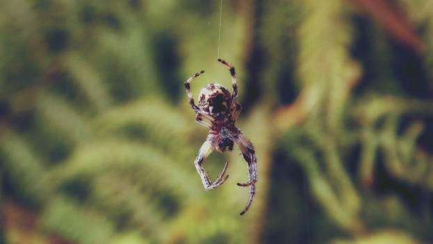 Brown Shamrock Spider #42507