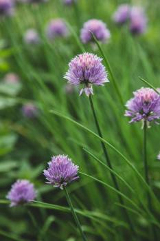 Chives Bulbous plant Flower #425116
