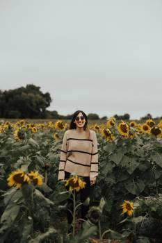 Sunflower Field Yellow Free Photo
