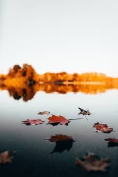 Maple Leaves on Water Free Photo