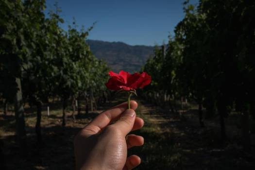 Hand Holding Red Flower In Front Of Orchard #425265