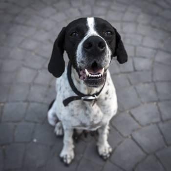 Black and White Short Coat Dog Closeup Photography #42542