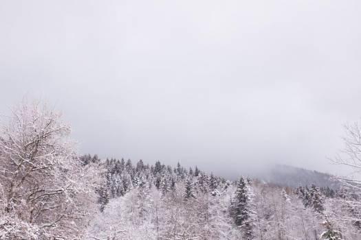 Wintry Alpine Trees Free Photo