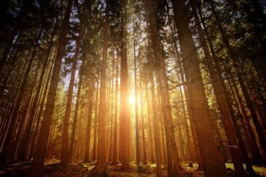 Sunrise Bursts Through Forest Trees #425535