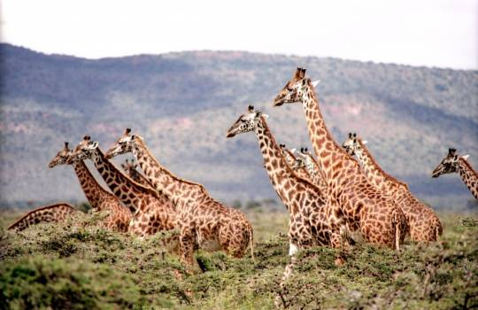 Group of Giraffe Surrounded by the Green Trees #42564