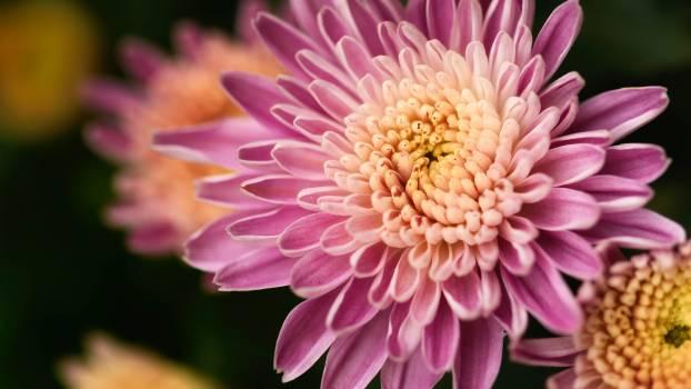 Macro Pink Flower Free Photo #425704