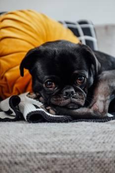 Pug Dog Canine #425794