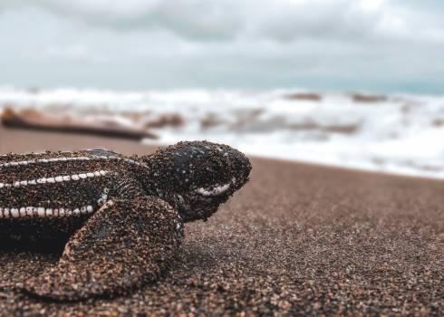 Sea turtle Sand Turtle #425924