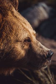 Brown bear Bear Mammal Free Photo