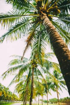 Coconut Tropical Palm Free Photo