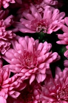 Pink Petal Flower #426193