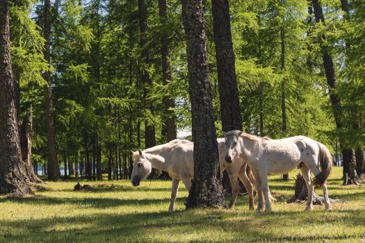Two White Horses in the Forest - Free Image For Commercial Use Free Photo
