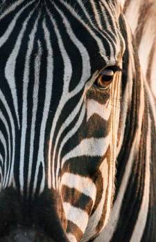 Zebra Equine Ungulate #426428
