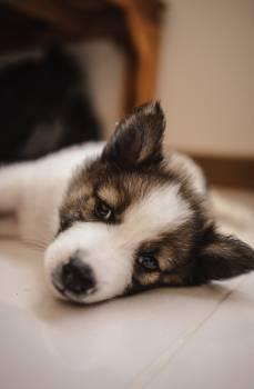 Dog Canine Corgi #426435