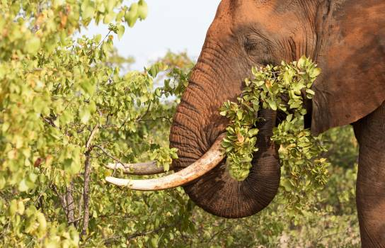 Tusker Mammal Elephant Free Photo