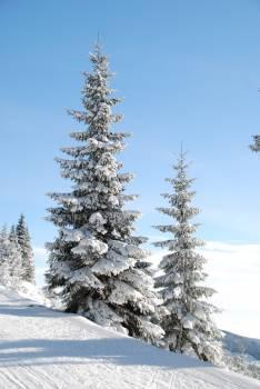 Snow Cap Pine Tree #42656