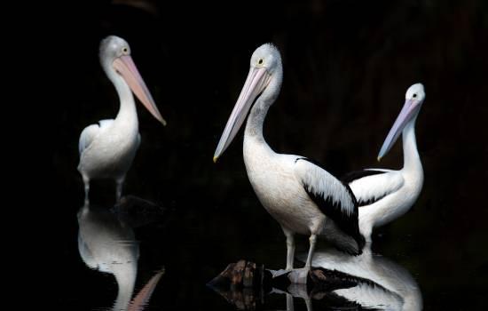 Pelican Seabird Bird #426586