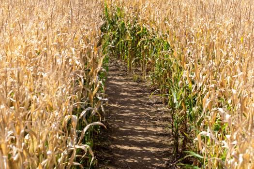 Corn Field Path Free Photo Free Photo