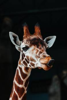 Giraffe Animal Mammal Free Photo