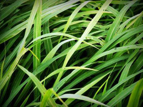 Green Tall Grass Free Photo