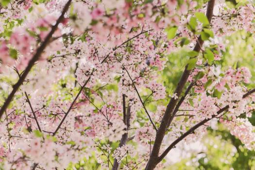 Pink and White Cherry Blossoms Free Photo