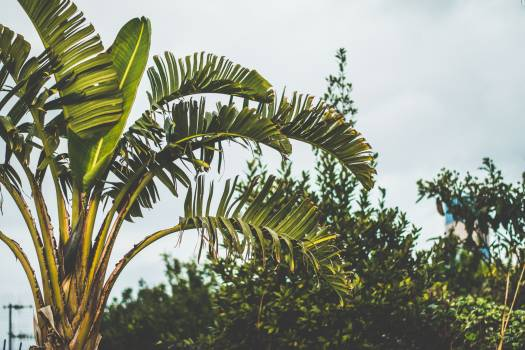 Green Leaf Banana Plant in a Camera Focus Photo during Daytime Under White Clouds #42966