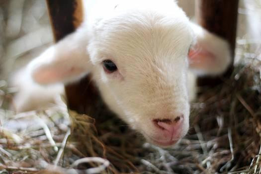 White Lamb on White Hay #43012