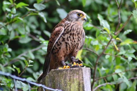 Brown Falcon on Brown Wooden Surface #43129