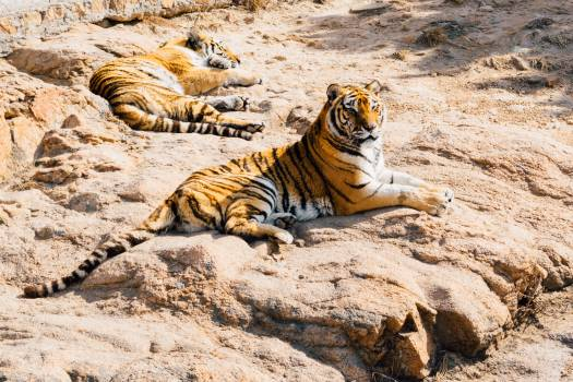 Tiger Sleeping Beside Tiger Crouching on Stone during Daytime #43182