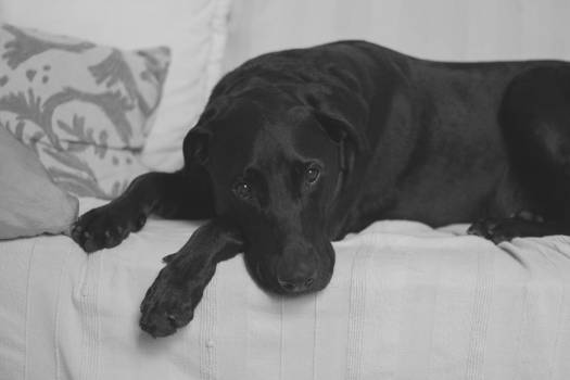 Black Labrador on White Cushion Couch #43208