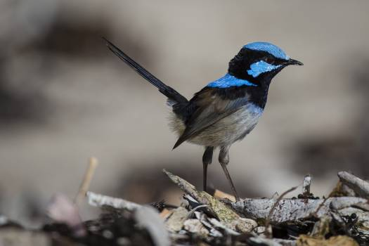 Blue and Black Feathered Small Bird Standing #43267