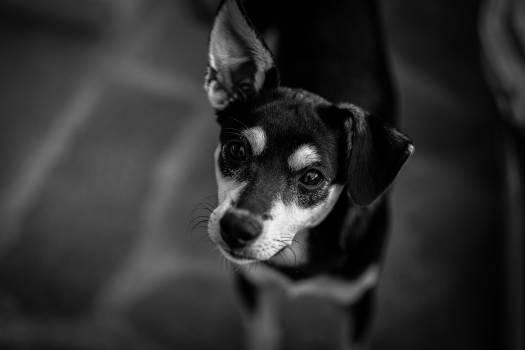 Black and White Short Coated Dog #43336
