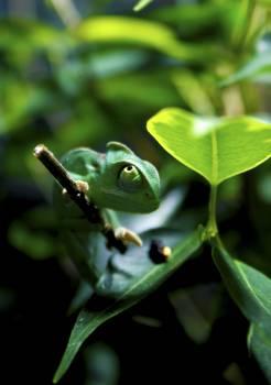 Green Chameleon on Tree Branch #43363