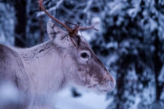 Gray 4 Legged Animal on Snow Covered Ground Free Photo