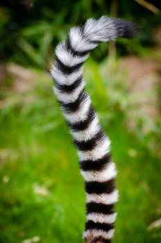 Black and White Animal Tail Free Photo