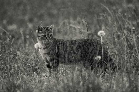 Grayscale Photo of Short Furred Medium Size Cat on the Grass and Flowers #43452