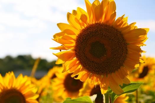 Yellow Brown Sun Flower during Daytime #43465