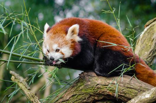 Red Panda on Bamboo Tree Branc #43681
