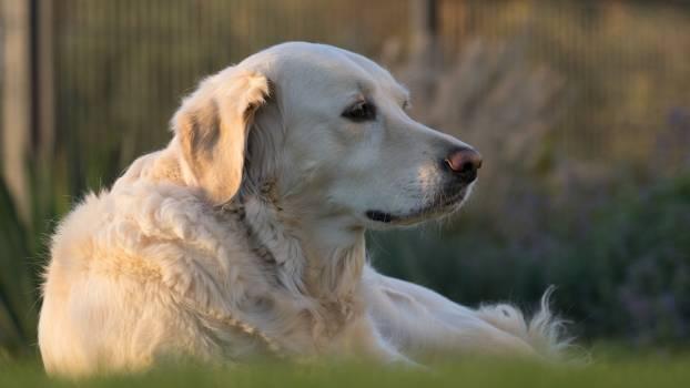 White Labrador Retriever #43729