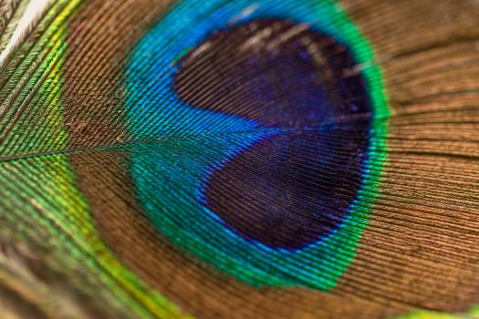 Blue Green Brown and Yellow Peacock Feather #43759