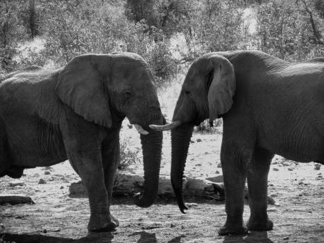 Grey Scale Photograph of Two Elephant\ Free Photo