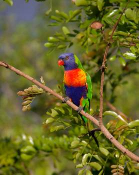 Blue Orange and Green Parrot Resting on Brown Branch #43959