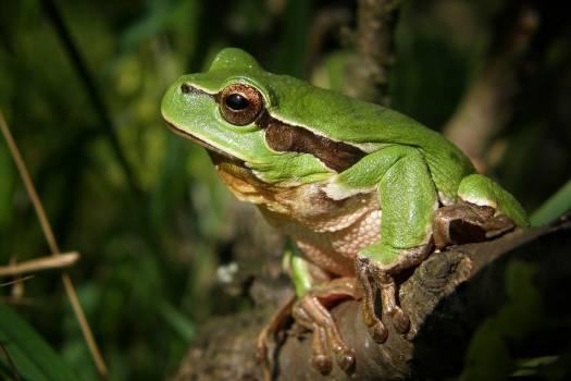 Green Frog in Brown Wood #44024