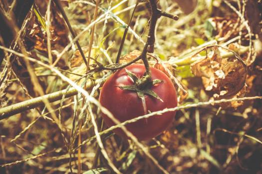 Red Tomato at Dried Plant #44099