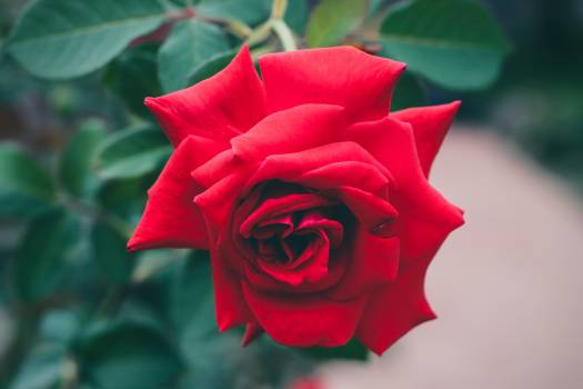 Rose flower red Free Photo